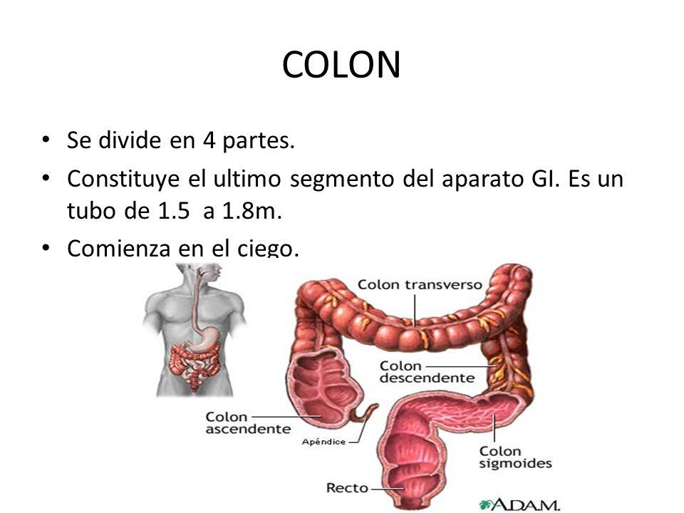 COLON Se divide en 4 partes.