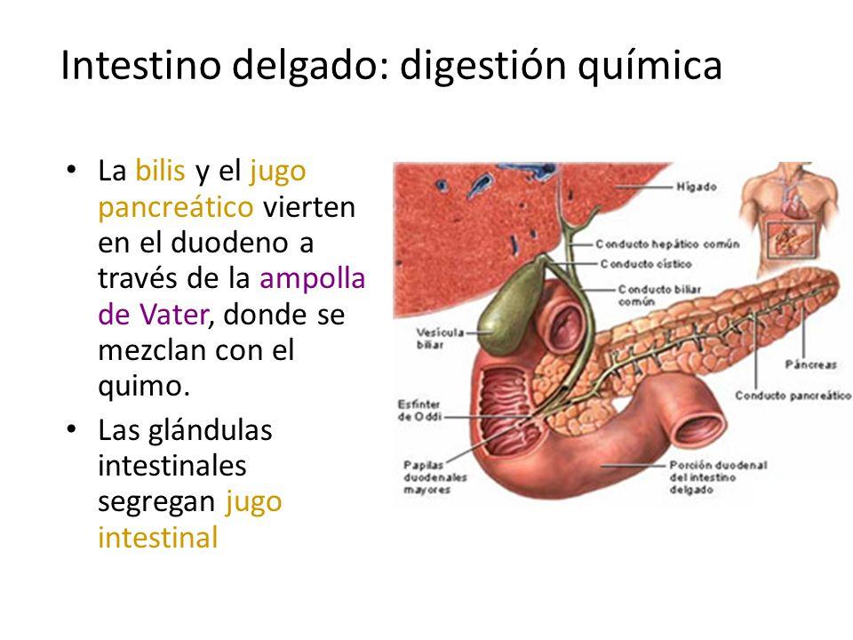 Intestino delgado: digestión química