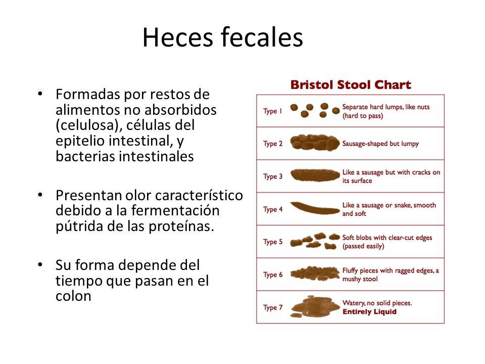 Heces fecales Formadas por restos de alimentos no absorbidos (celulosa), células del epitelio intestinal, y bacterias intestinales.