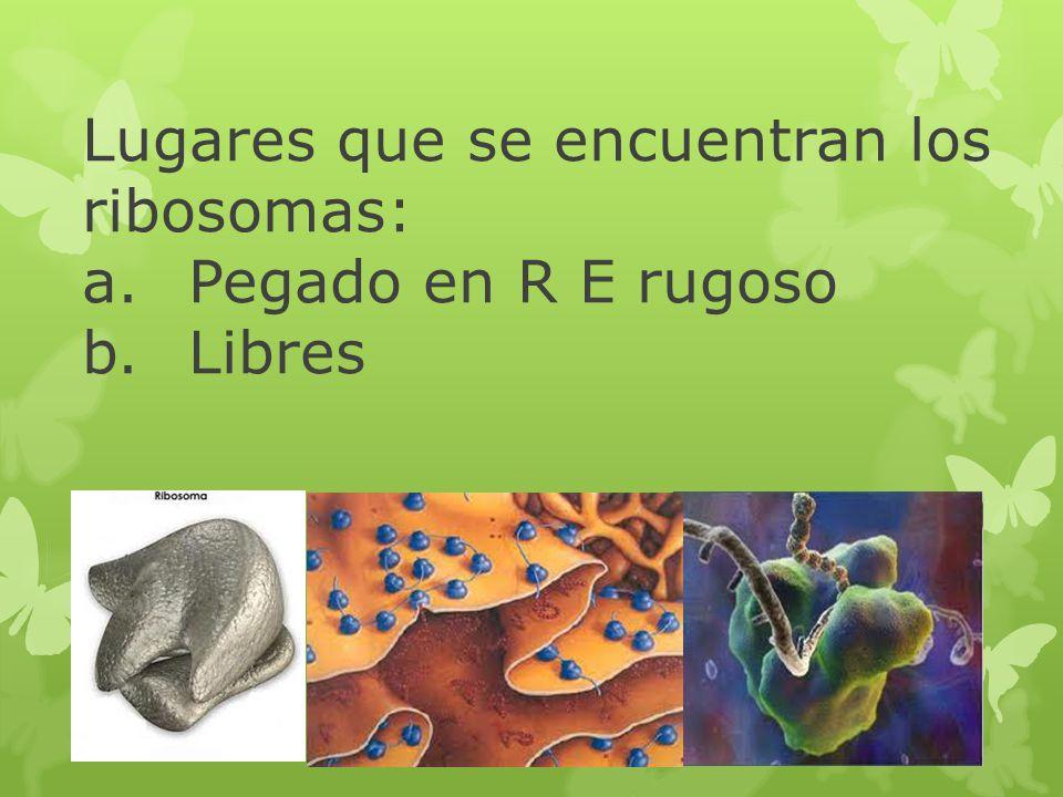 Lugares que se encuentran los ribosomas: a. Pegado en R E rugoso b
