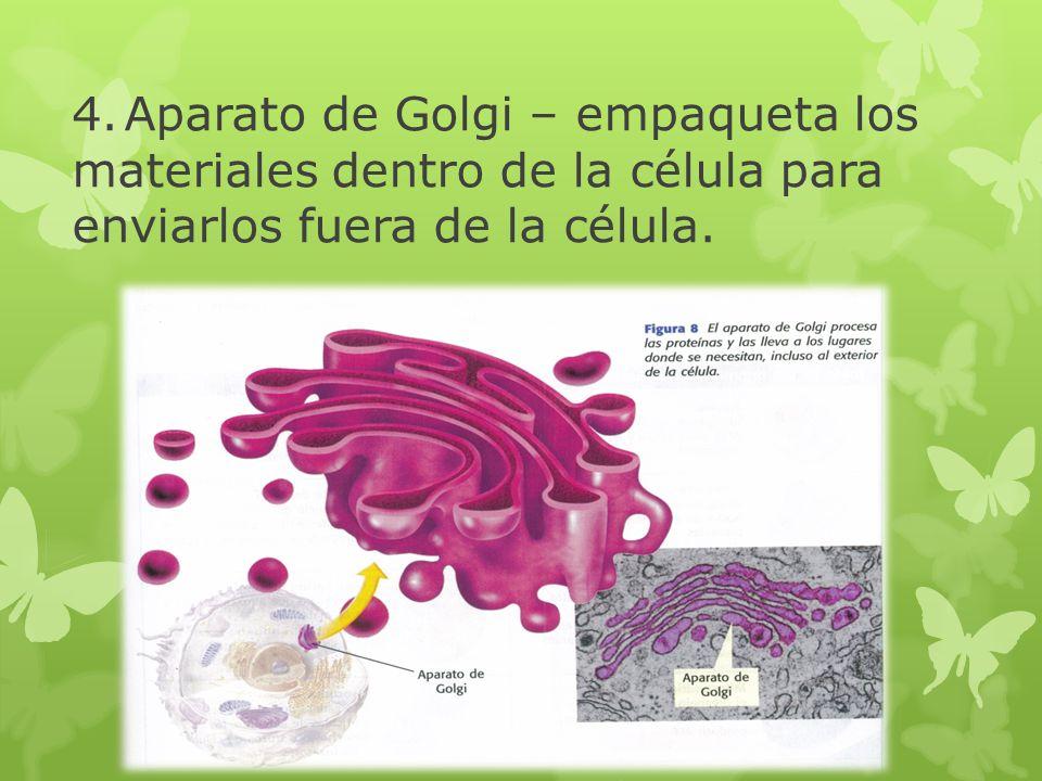 4. Aparato de Golgi – empaqueta los materiales dentro de la célula para enviarlos fuera de la célula.