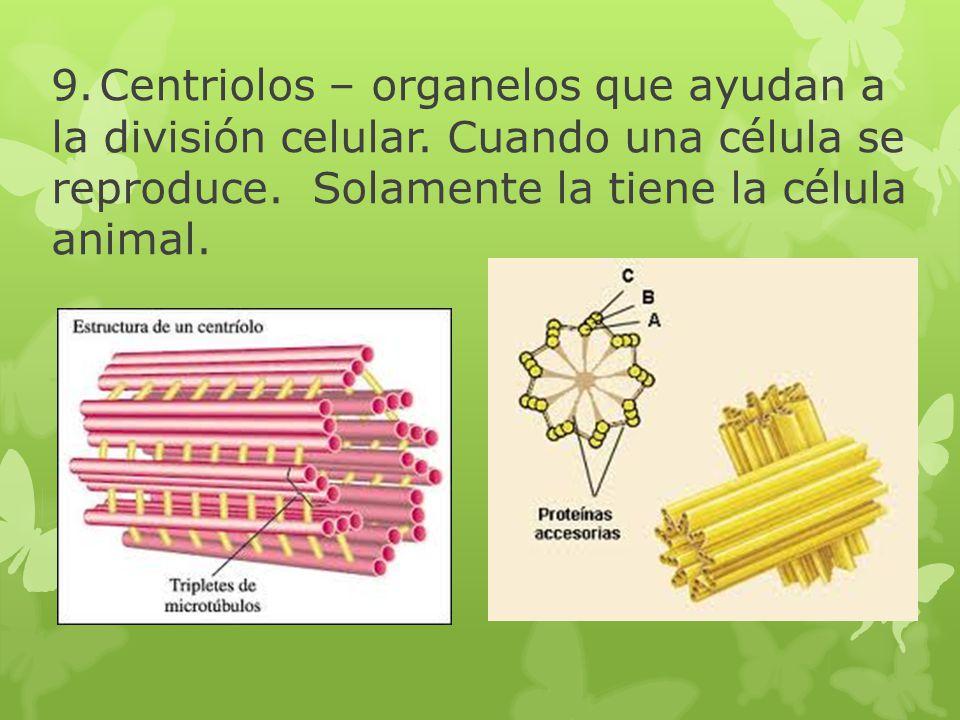9. Centriolos – organelos que ayudan a la división celular