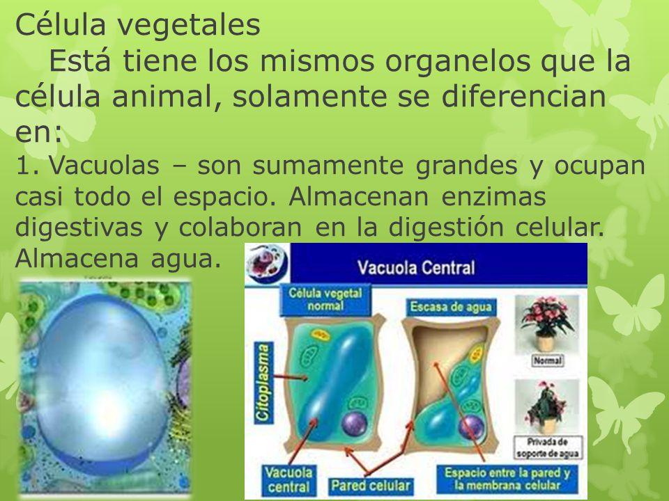 Célula vegetales Está tiene los mismos organelos que la célula animal, solamente se diferencian en: 1. Vacuolas – son sumamente grandes y ocupan casi todo el espacio.