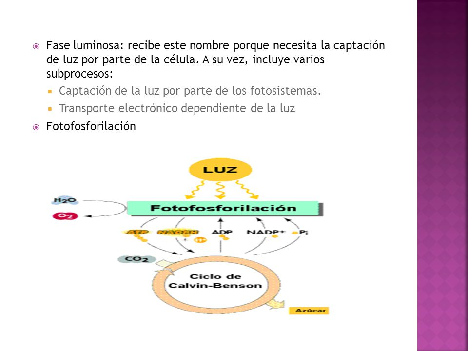 Fase luminosa: recibe este nombre porque necesita la captación de luz por parte de la célula. A su vez, incluye varios subprocesos:
