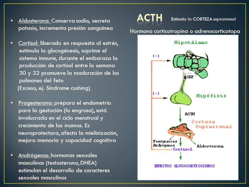 ACTH Aldosterona: Conserva sodio, secreta potasio, incrementa presión sanguínea. Cortisol: liberado en respuesta al estrés,