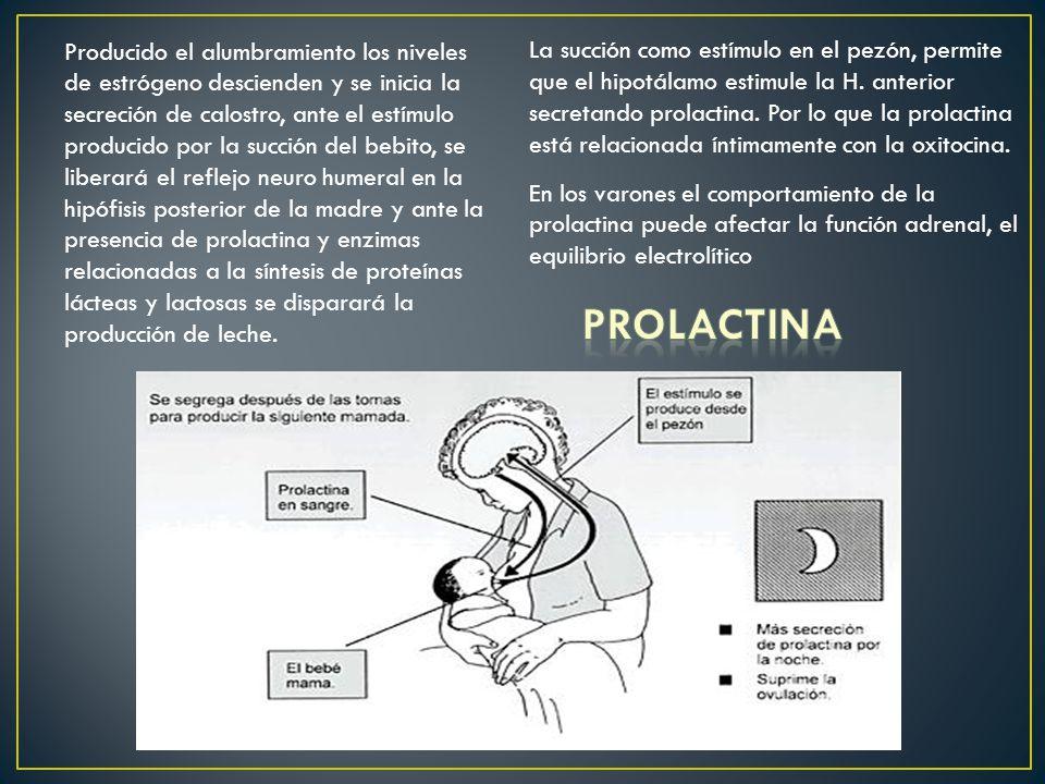 La succión como estímulo en el pezón, permite que el hipotálamo estimule la H. anterior secretando prolactina. Por lo que la prolactina está relacionada íntimamente con la oxitocina.