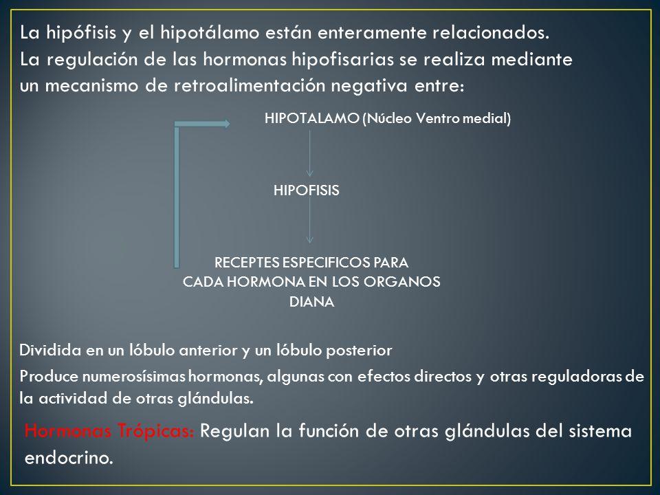 La hipófisis y el hipotálamo están enteramente relacionados.