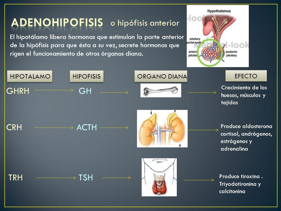ADENOHIPOFISIS o hipófisis anterior GHRH GH CRH ACTH TRH TSH