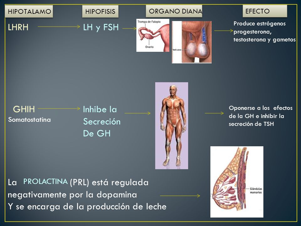 La (PRL) está regulada negativamente por la dopamina