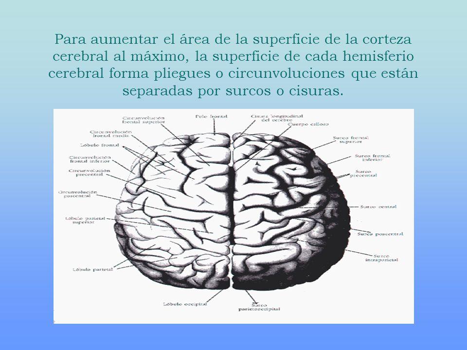 Para aumentar el área de la superficie de la corteza cerebral al máximo, la superficie de cada hemisferio cerebral forma pliegues o circunvoluciones que están separadas por surcos o cisuras.