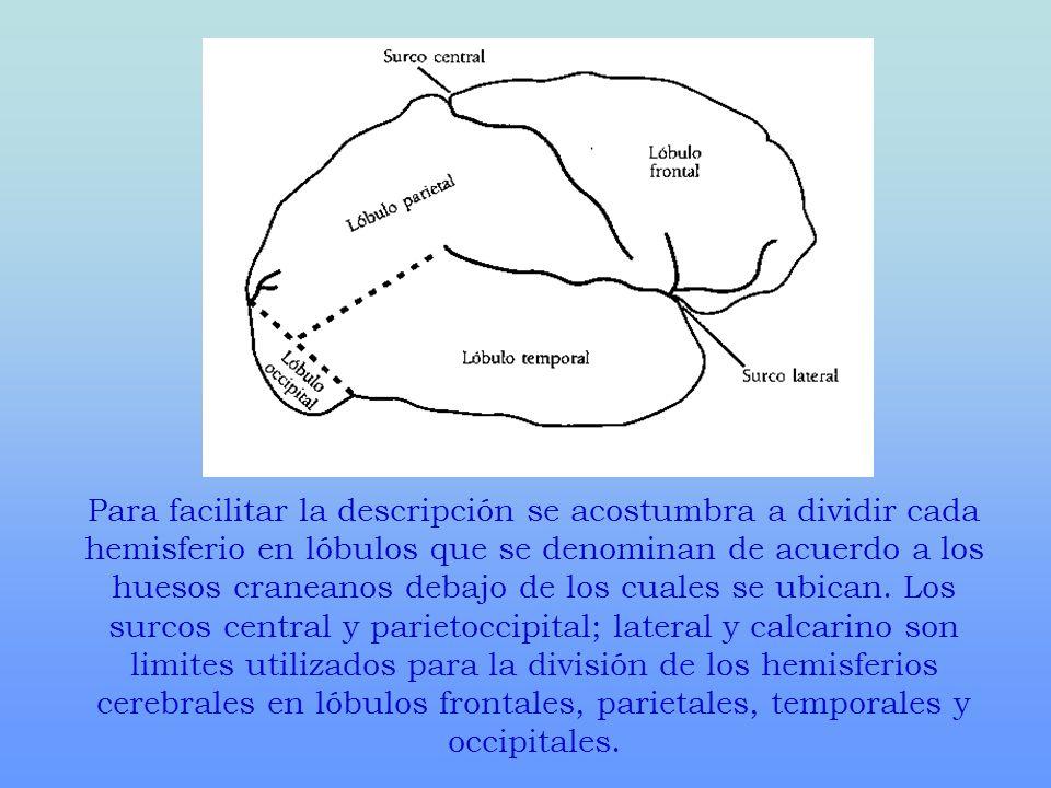 Para facilitar la descripción se acostumbra a dividir cada hemisferio en lóbulos que se denominan de acuerdo a los huesos craneanos debajo de los cuales se ubican.