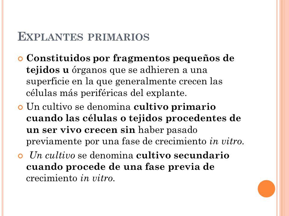 Explantes primarios