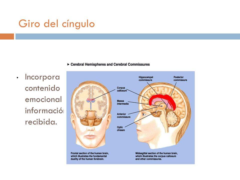 Giro del cíngulo Incorpora contenido emocional a la información recibida.