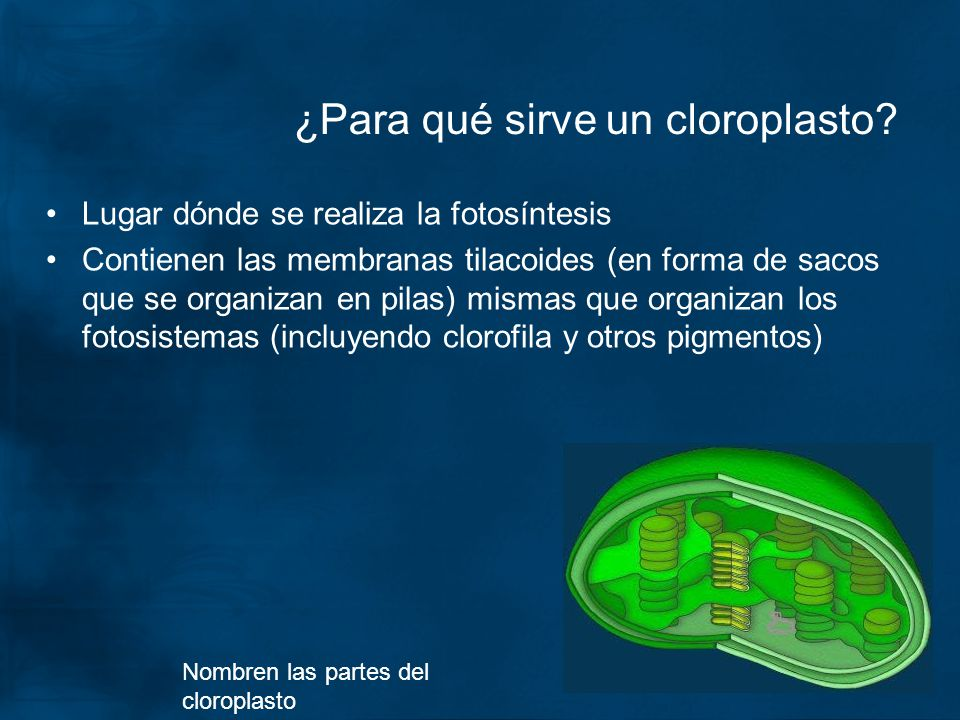 ¿Para qué sirve un cloroplasto