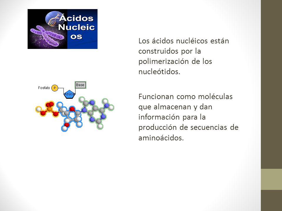 Los ácidos nucléicos están construidos por la polimerización de los nucleótidos.
