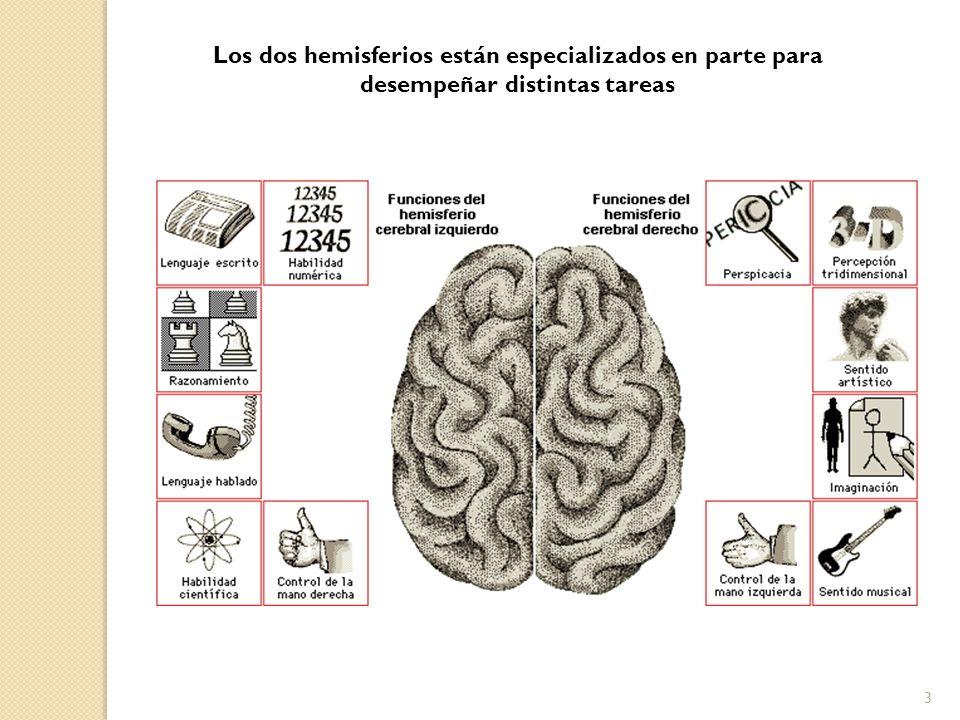 Los dos hemisferios están especializados en parte para desempeñar distintas tareas