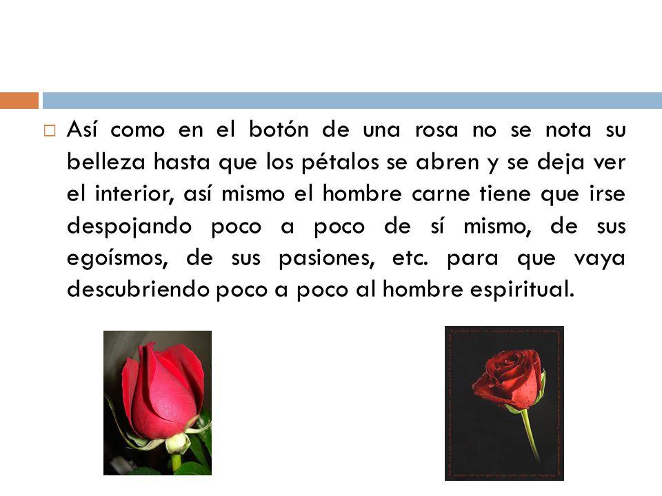 Así como en el botón de una rosa no se nota su belleza hasta que los pétalos se abren y se deja ver el interior, así mismo el hombre carne tiene que irse despojando poco a poco de sí mismo, de sus egoísmos, de sus pasiones, etc.