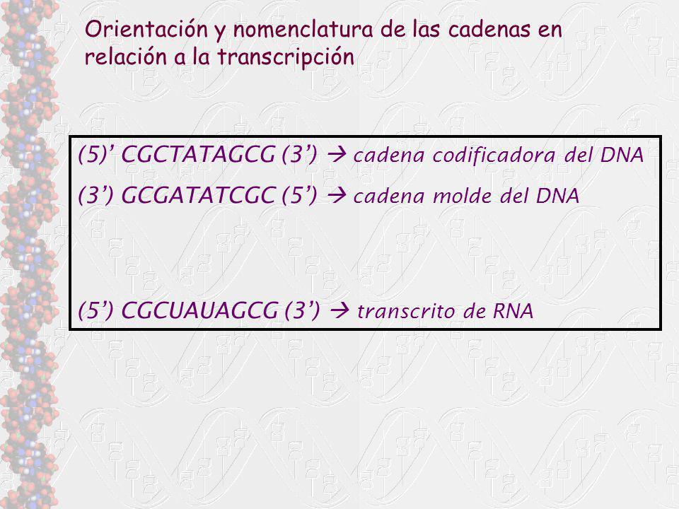 Orientación y nomenclatura de las cadenas en relación a la transcripción