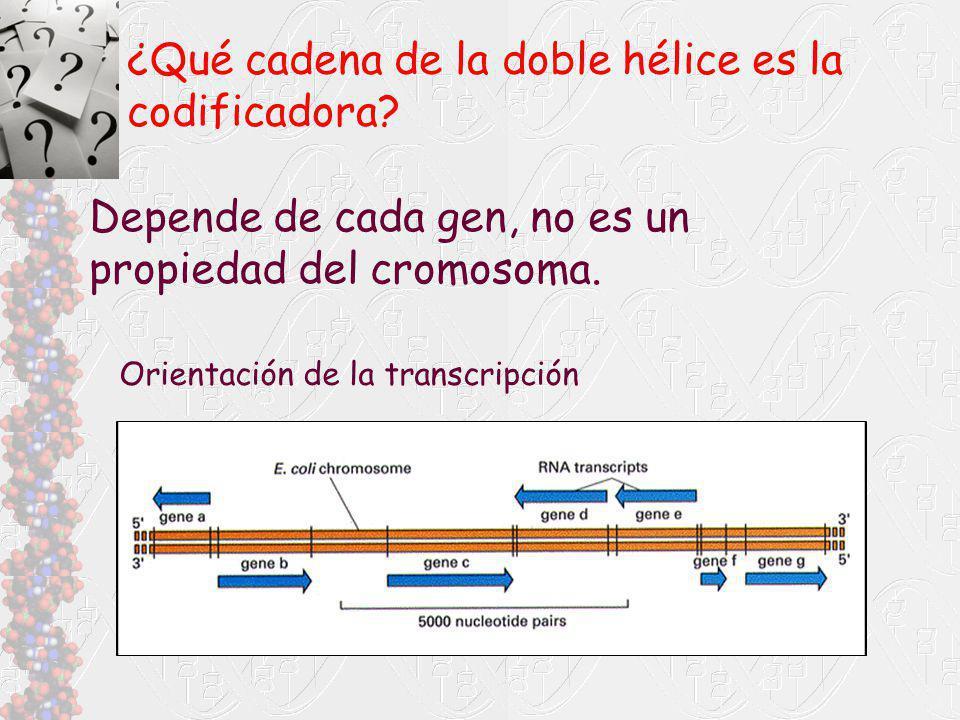 ¿Qué cadena de la doble hélice es la codificadora