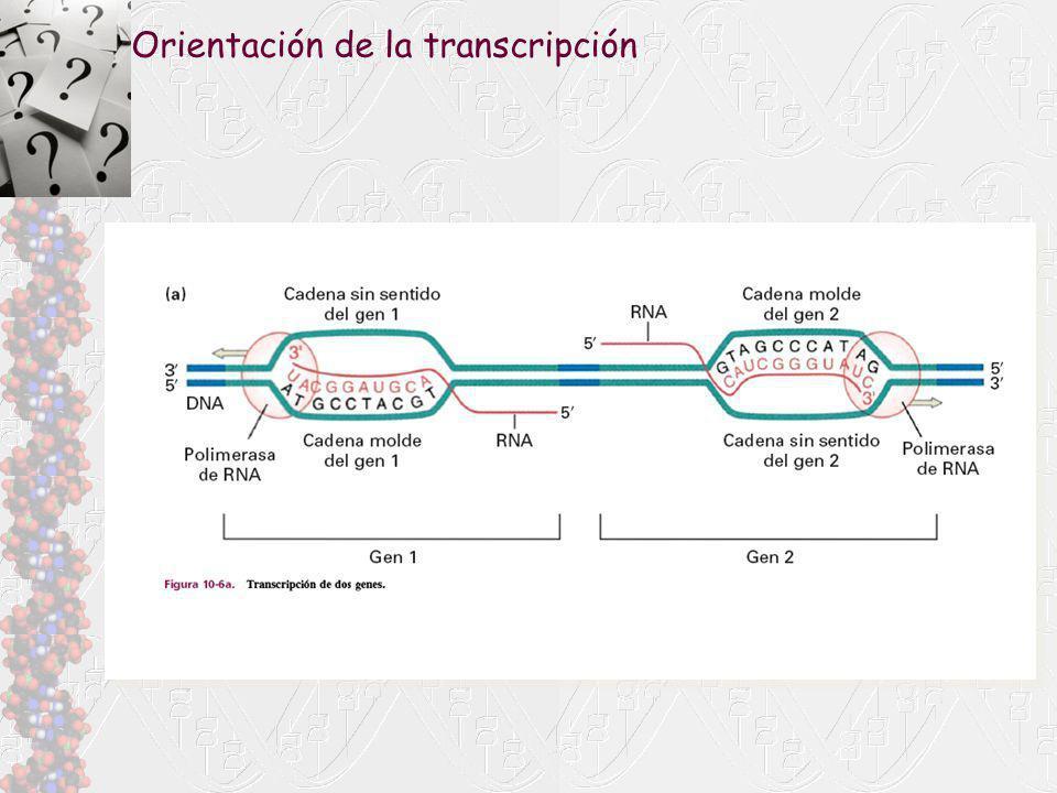 Orientación de la transcripción
