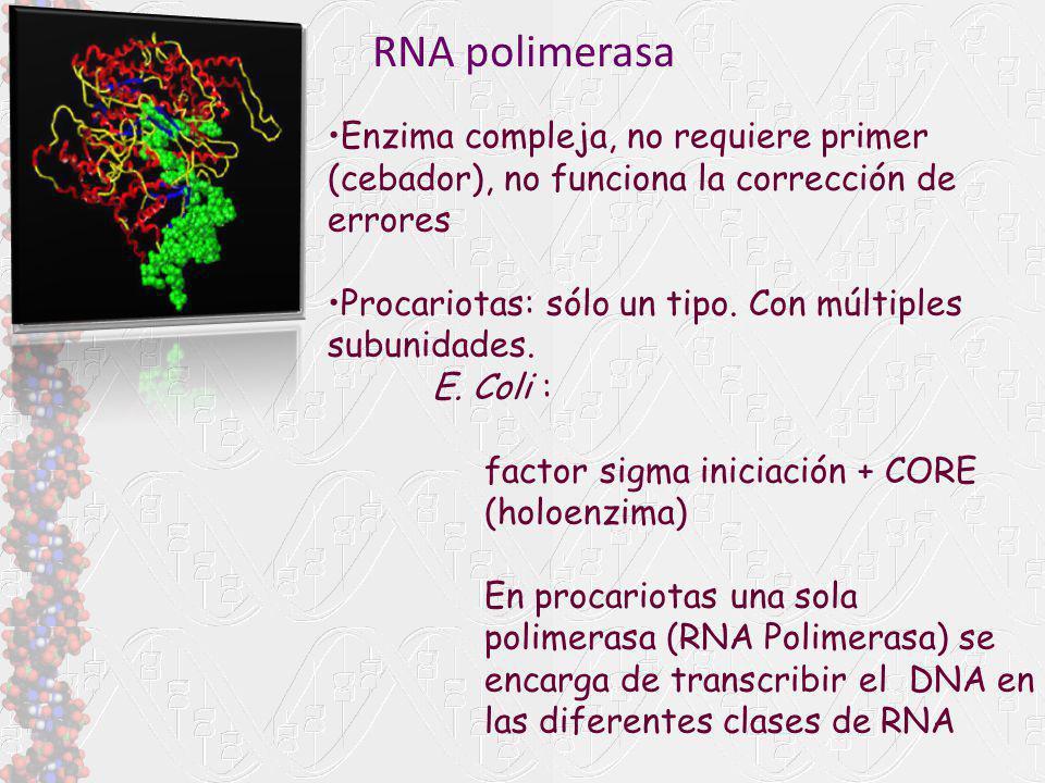 RNA polimerasa Enzima compleja, no requiere primer (cebador), no funciona la corrección de errores.