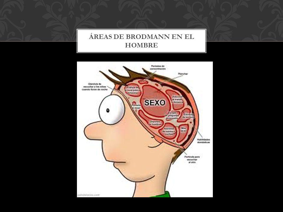 Áreas de Brodmann en el hombre