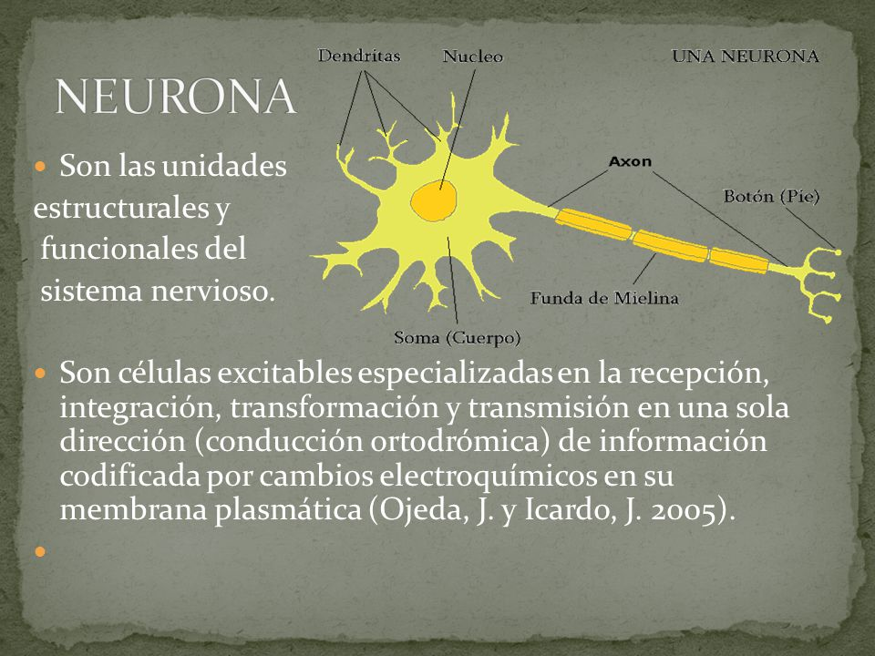 NEURONA Son las unidades estructurales y funcionales del