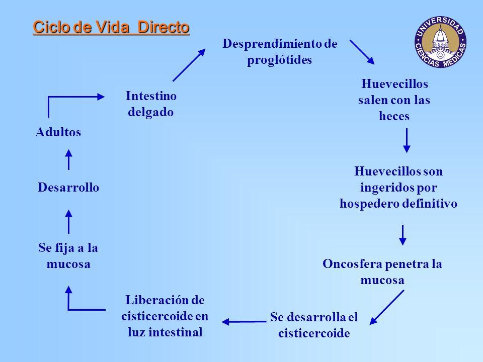 Ciclo de Vida Directo Desprendimiento de proglótides