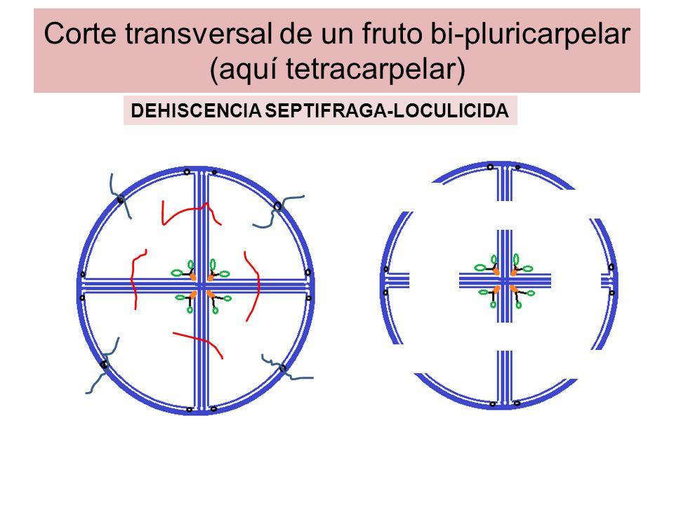 Corte transversal de un fruto bi-pluricarpelar (aquí tetracarpelar)