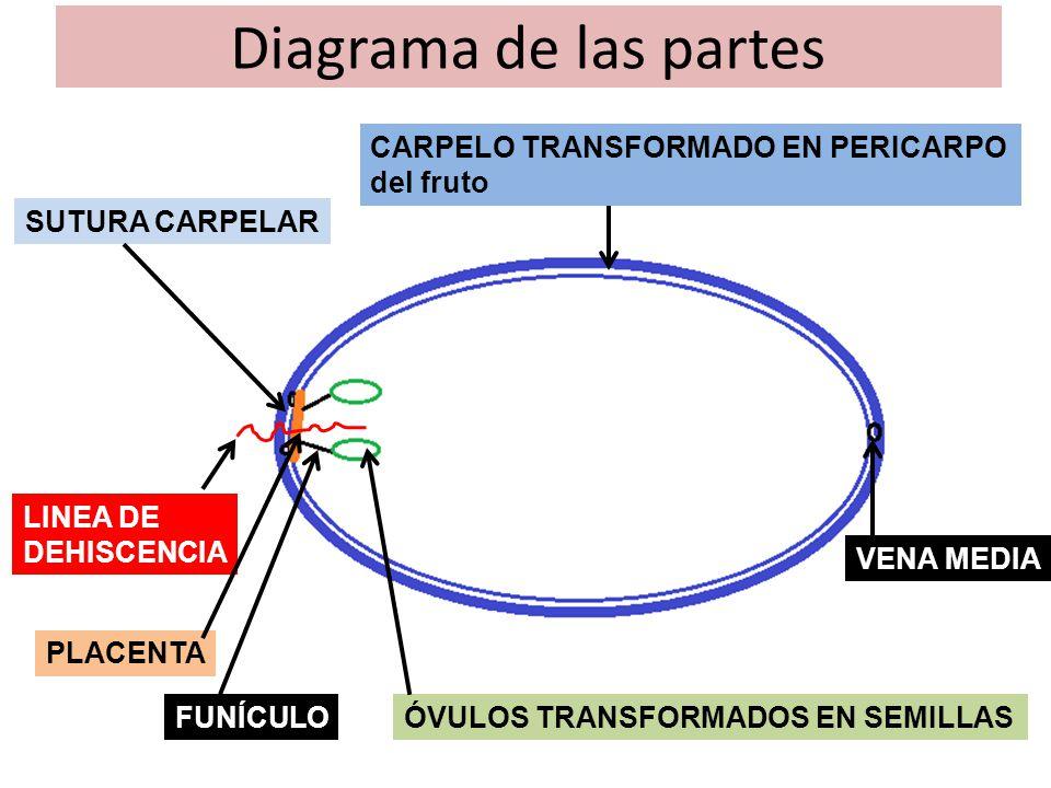 Diagrama de las partes CARPELO TRANSFORMADO EN PERICARPO del fruto
