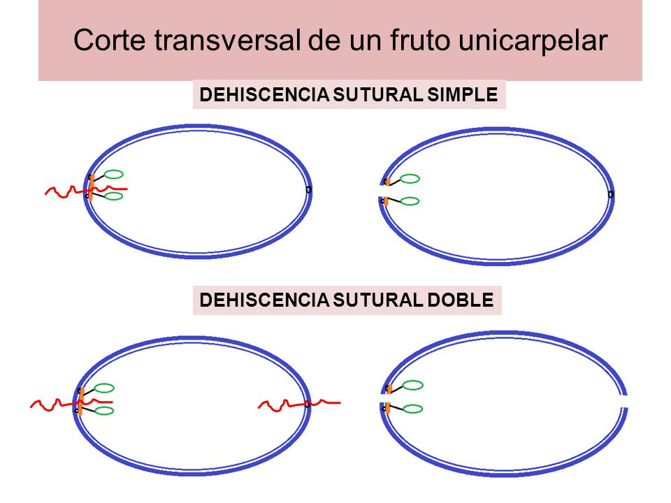 Corte transversal de un fruto unicarpelar
