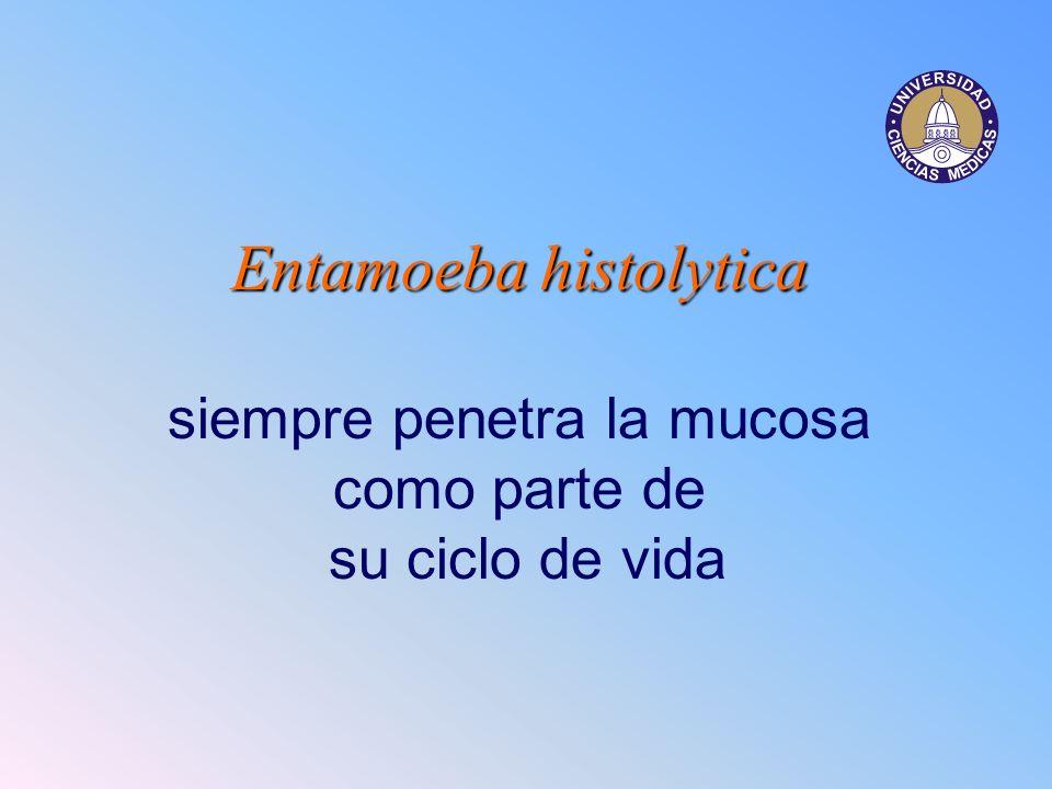 Entamoeba histolytica siempre penetra la mucosa como parte de su ciclo de vida