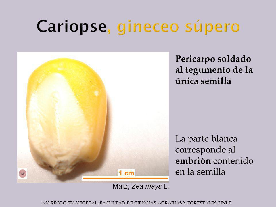 Cariopse, gineceo súpero