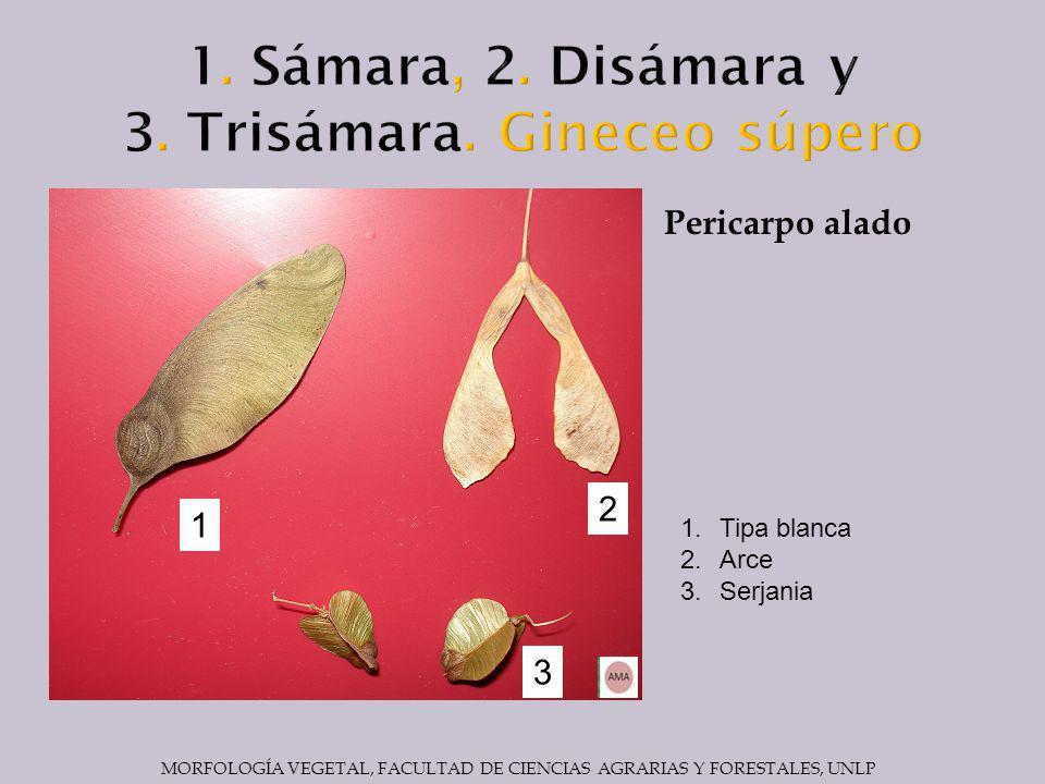 1. Sámara, 2. Disámara y 3. Trisámara. Gineceo súpero