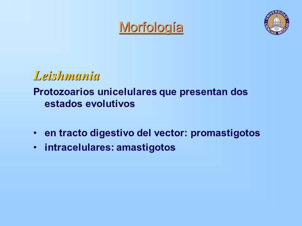 Morfología Leishmania