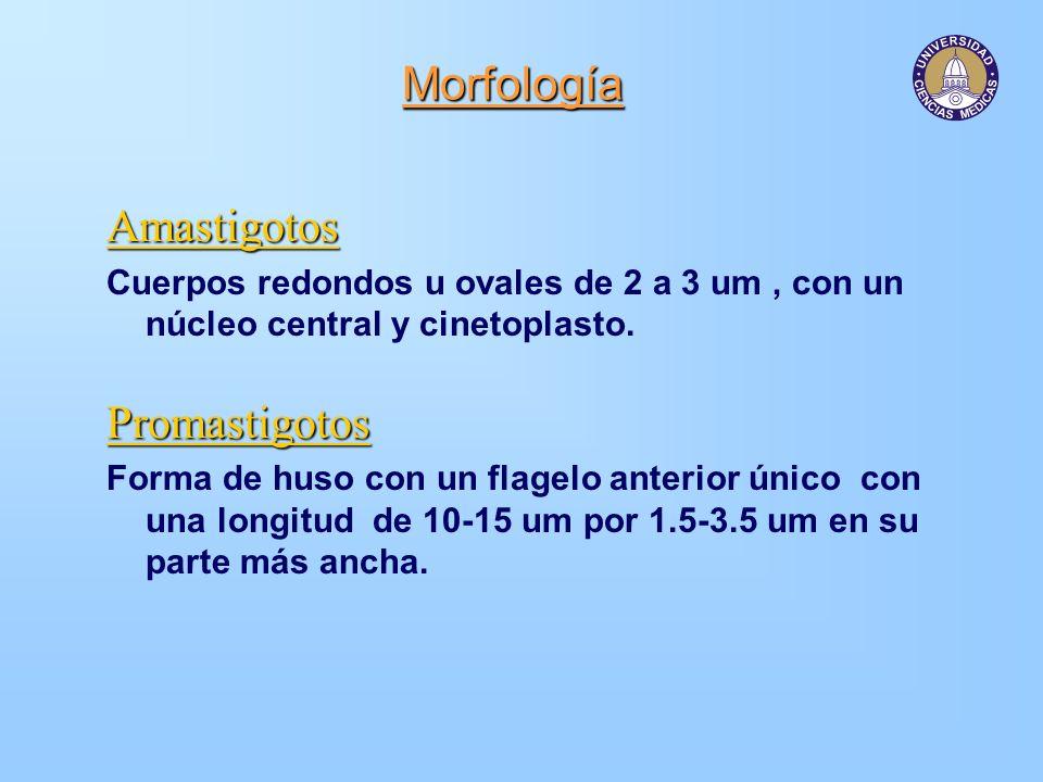Morfología Amastigotos Promastigotos