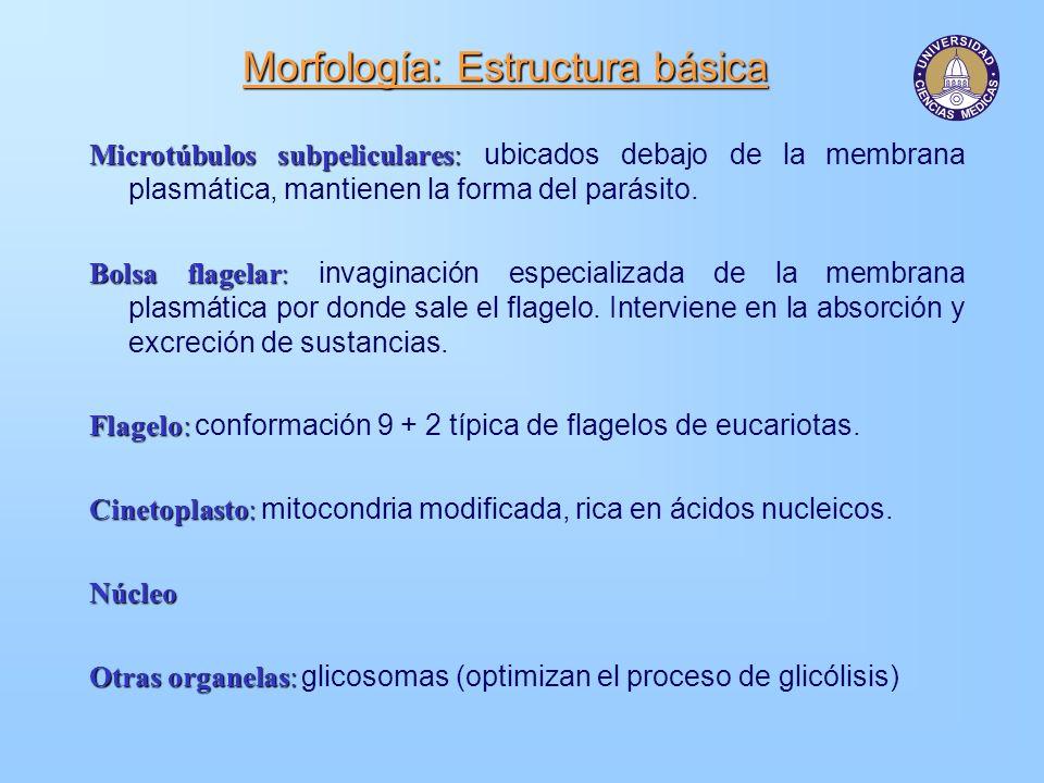 Morfología: Estructura básica