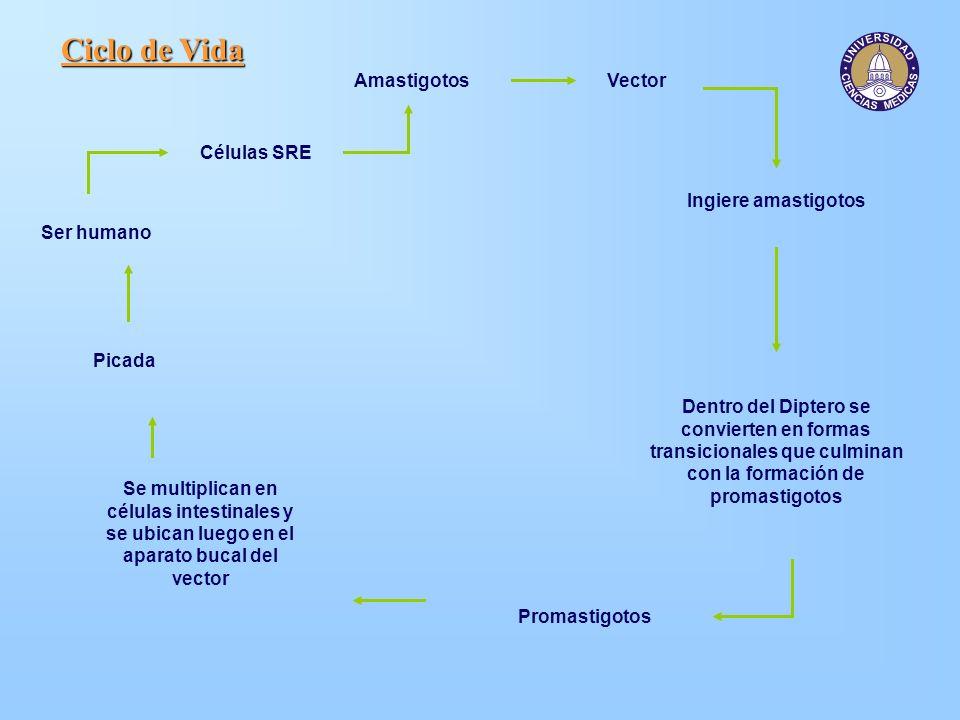 Ciclo de Vida Amastigotos Vector Células SRE Ingiere amastigotos