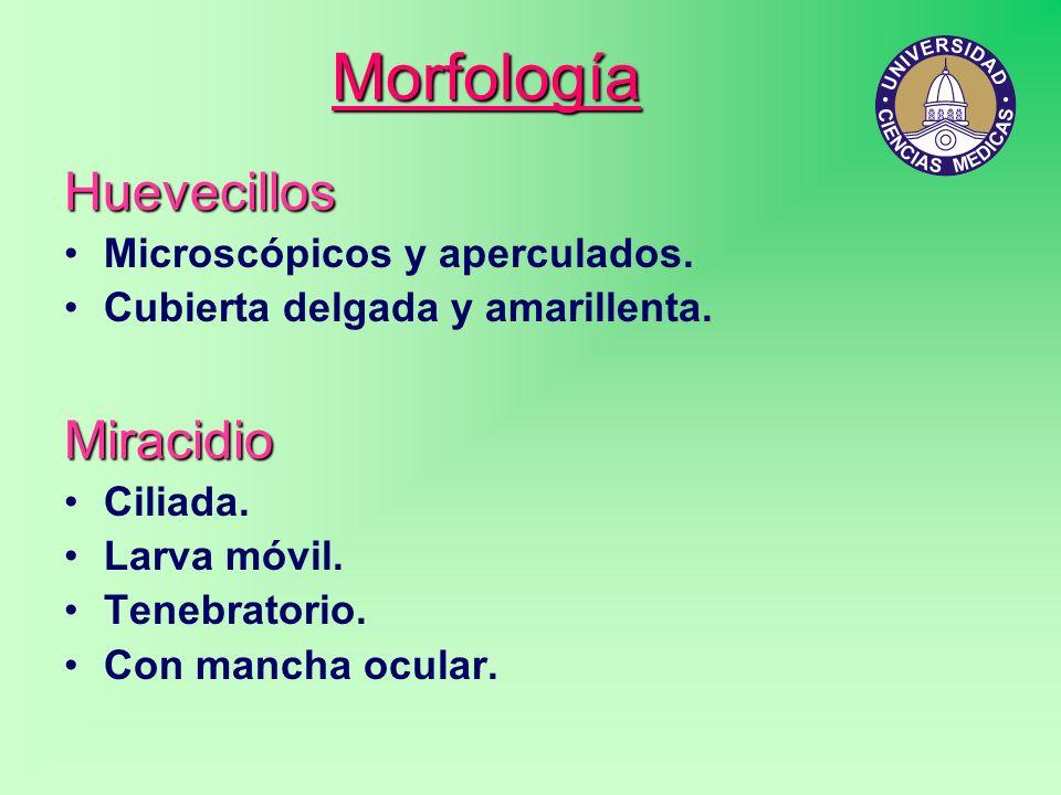 Morfología Huevecillos Miracidio Microscópicos y aperculados.