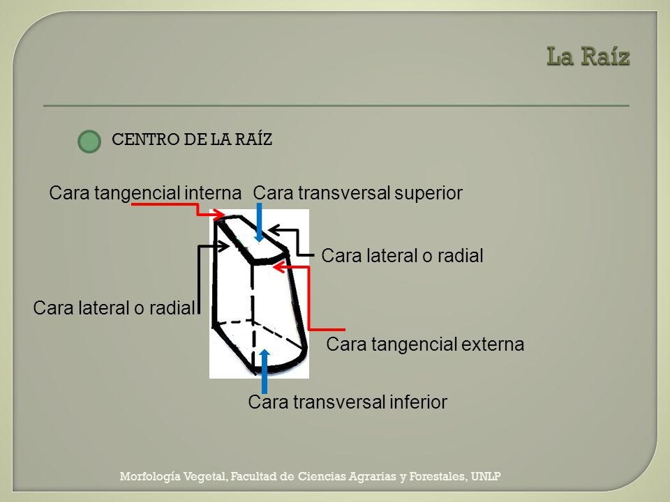 La Raíz Cara tangencial interna Cara transversal superior
