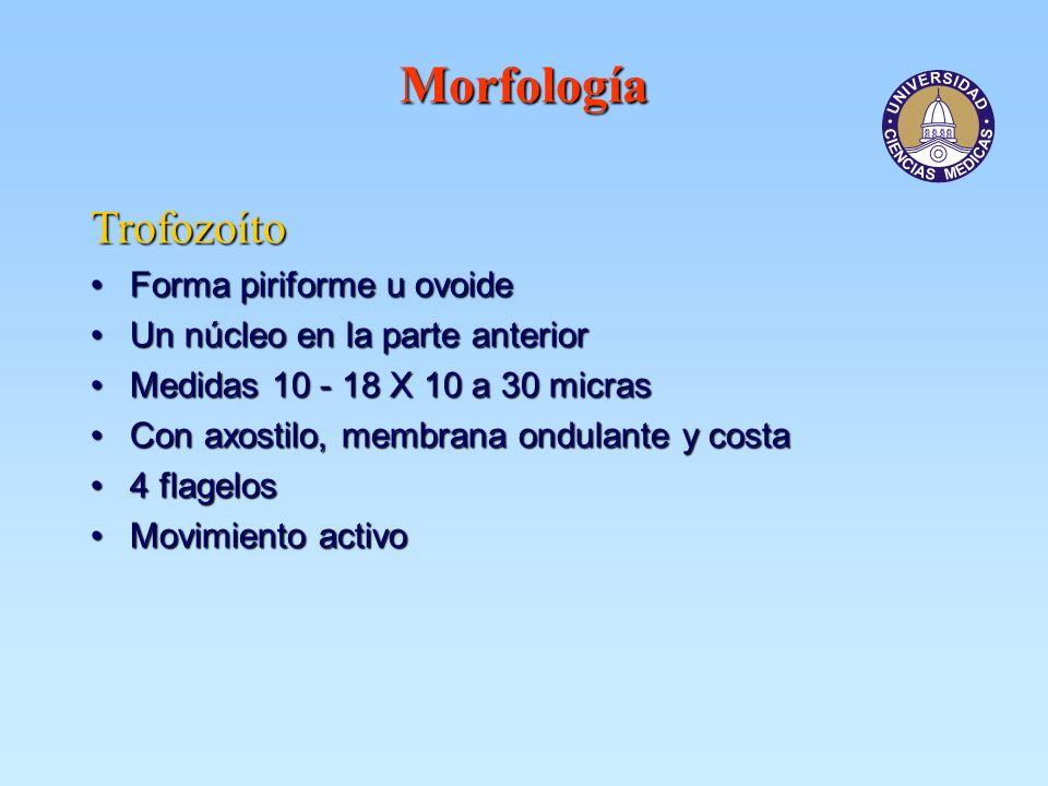 Morfología Trofozoíto Forma piriforme u ovoide