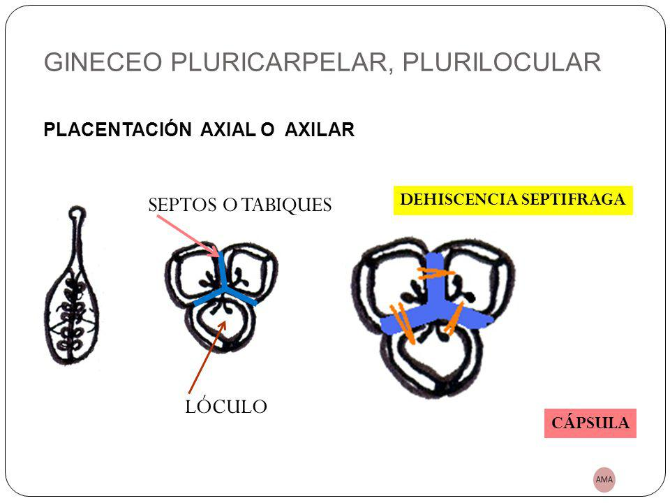GINECEO PLURICARPELAR, PLURILOCULAR