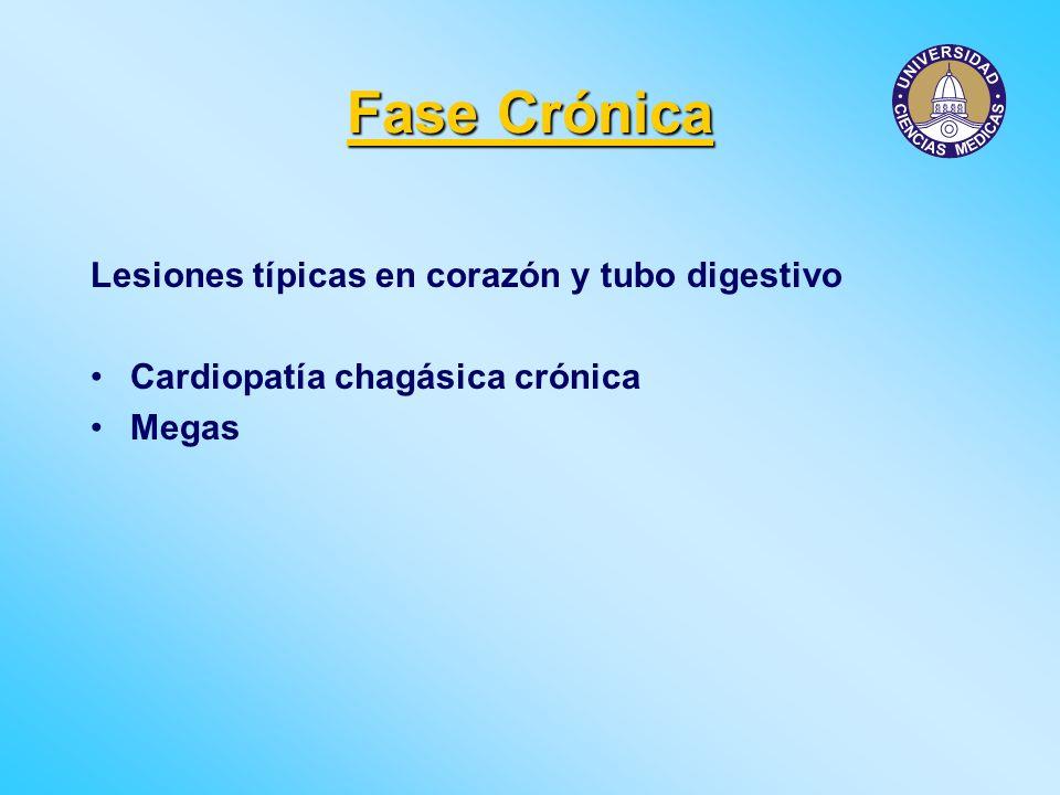 Fase Crónica Lesiones típicas en corazón y tubo digestivo