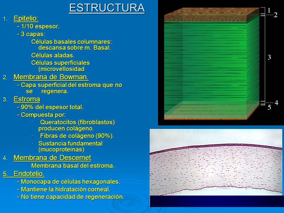 ESTRUCTURA Epitelio: Membrana de Bowman. Estroma Membrana de Descemet