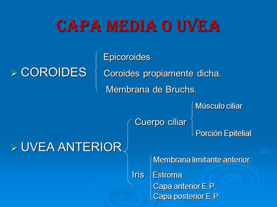 CAPA MEDIA O UVEA Epicoroides COROIDES Coroides propiamente dicha.