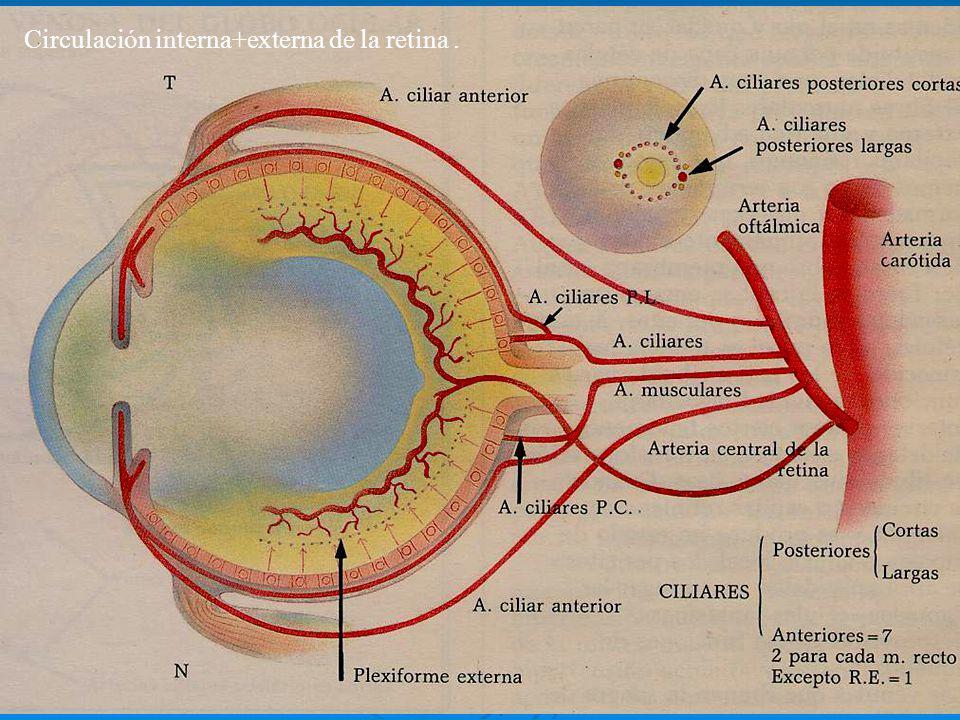 Circulación interna+externa de la retina .