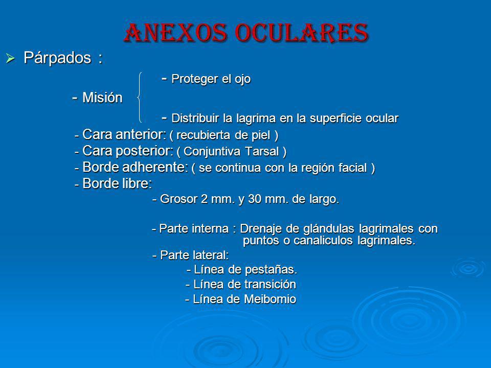 ANEXOS OCULARES Párpados : - Proteger el ojo - Misión