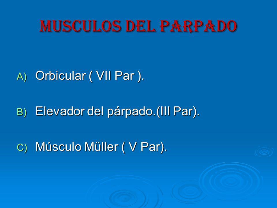 MUSCULOS DEL PARPADO Orbicular ( VII Par ).