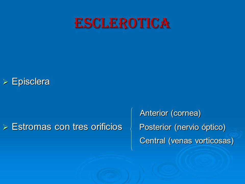 ESCLEROTICA Anterior (cornea) Episclera