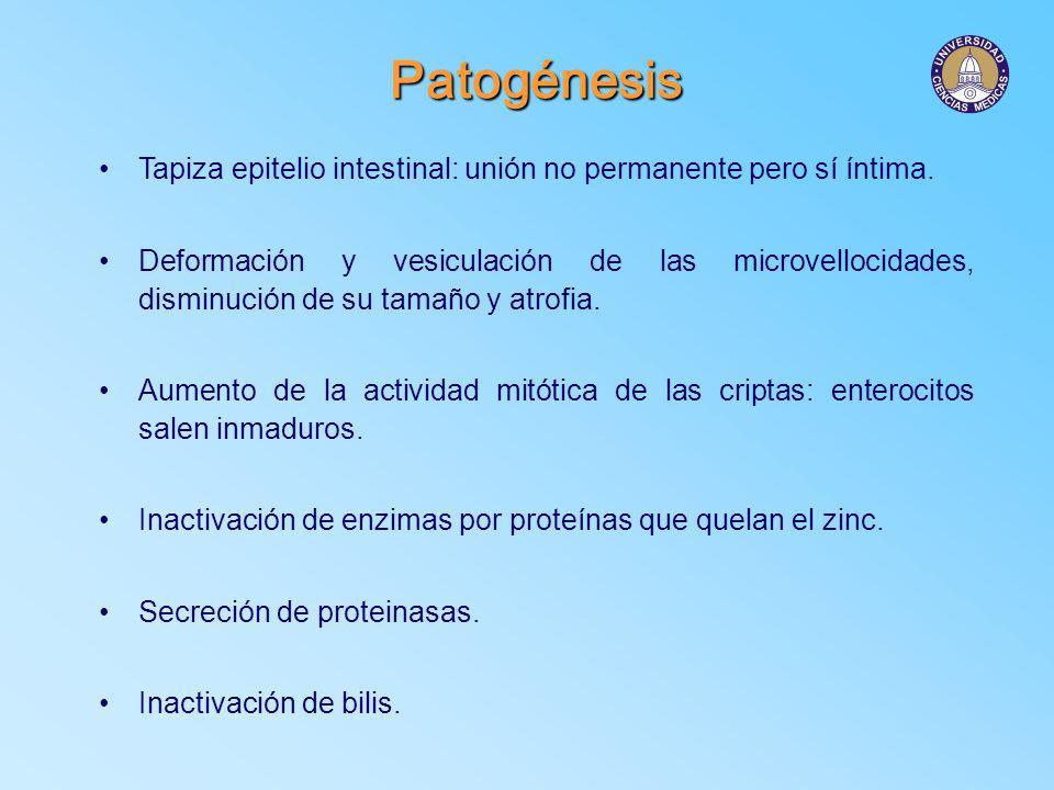 Patogénesis Tapiza epitelio intestinal: unión no permanente pero sí íntima.